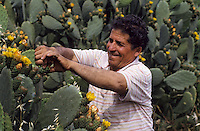 Europe/Italie/Sicile/Palerme : Récolte des figues de barbarie