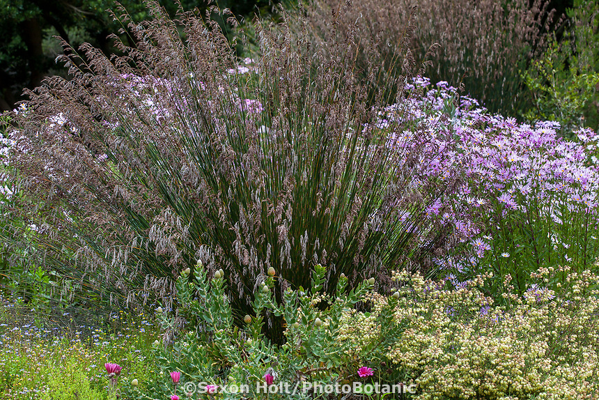 Thamnochortus insignis (Thatching Reed); San Francisco Botanical Garden