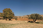 Samaria, Mediterranean Hackberry and Olive tree in Yanun