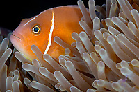 Pink anemone fish (Amphiprion perideraion) in it's anemone, Christine's reef, Walindi, Kimbe bay, Bismark sea, Pacific ocean, Papua New Guinea, Asia