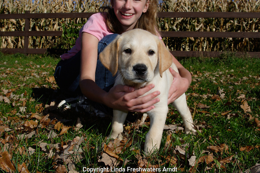 12 year old girl holds back a yellow Labrador retriever puppy (AKC) in the fall.  Birchwood, WI.