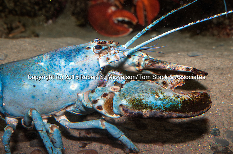 American lobster blue color phase medium shot facing right.  Blue lobsters only occur once every 2 million lobsters.