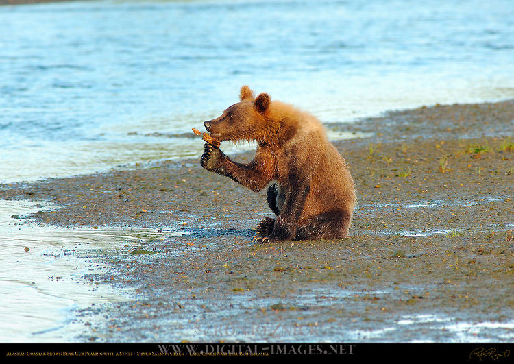 Alaskan Coastal Brown Bear Cub Playing with a Stick, Silver Salmon Creek, Lake Clark National Park, Alaska