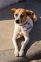 Havana, Cuba. La Habana Vieja (Old Habana). Registered dog with plaque.