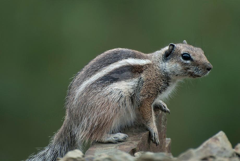 Berber Grondeekhoorn (Atlantoxerus getulus)