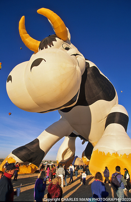 The Creamland Cow balloon is a perennial favorite at the Albququerque International Hot Air Balloon Fiesta