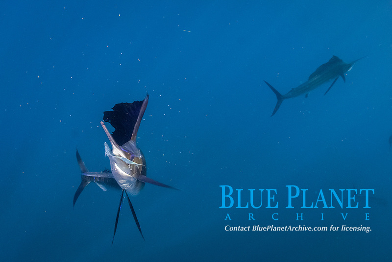 pelagic Atlantic sailfish, Istiophorus albicans or platypterus, use a cooperative hunting strategy to herd sardines into a baitball for easier feeding, Yucatan Peninsula, Mexico Caribbean Sea near Contoy Island, Isla Mujeres, Cozumel, Cancun