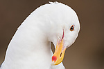 La Jolla, California; a tight head shot of an adult Western Gull preaning its feathers