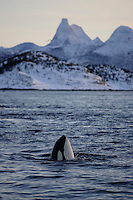 Spyhopping killer whale  with Norways National mountain Stetind in background