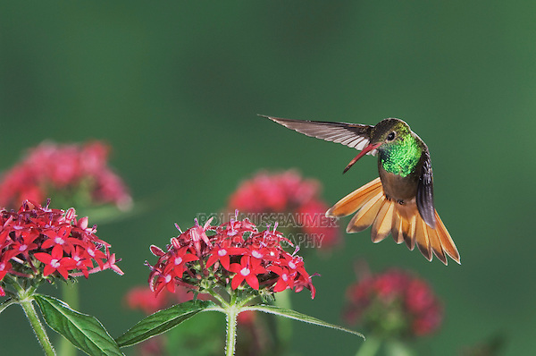 Buff-bellied Hummingbird, Amazilia yucatanenensis, male in flight over Penta flowers, Sinton, Coastel Bend, Texas, USA