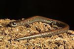 California Slender Salamander (Batrachoseps attenuatus), Santa Cruz, Monterey Bay, California