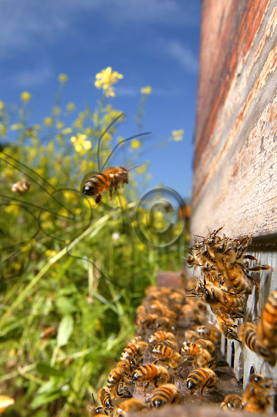 The generous three-week flowering period of colza offers colonies rapid demographic growth. A forager flies back to the beehive with a crop full of nectar as its fellow bees frenetically fan the flight board to regulate temperature inside the colony..