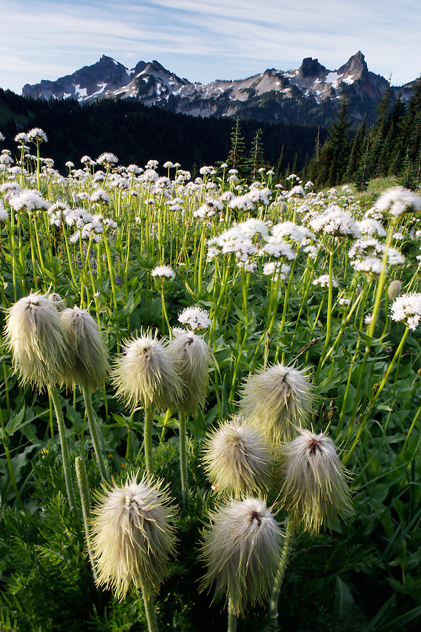 Clump of Western Anemone in wildflower meadow below Tatoosh Range, Edith Creek Basin, Mount Rainier National Park, Washington, USA
