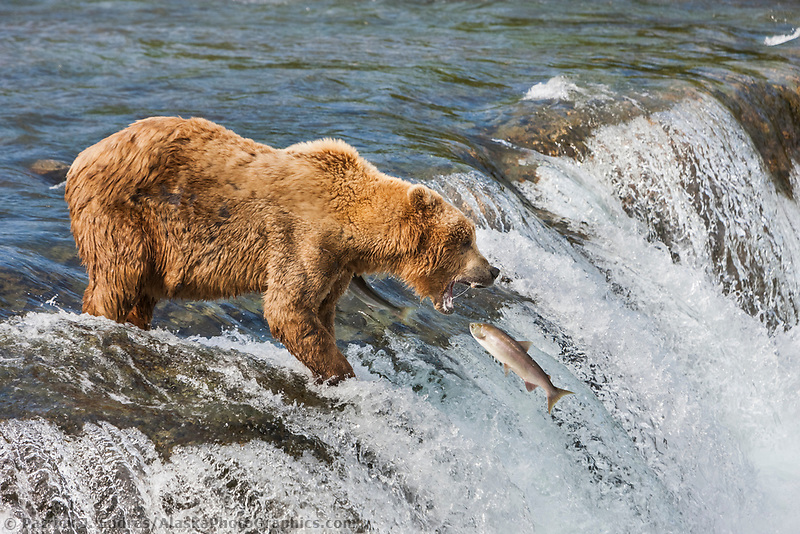 Brown bear fishes for red salmon at the falls on the Brooks river, Katmai National Park, southwest, Alaska.