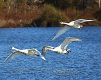 Trumpeter swans in landing pattern