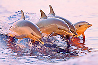 Pantropical spotted dolphins (Stenella attenuata), comprised of juveniles and a baby, jump in synchronization out of a boat's wake at sunset, Kona, Big Island.
