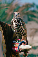 Falcon in Bahrain with Jesses around its feet