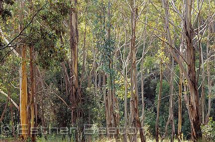 Young Manna Gum trees (Eucalyptus viminalis), Tidbinbilla Nature Reserve, Australian Capital Territory