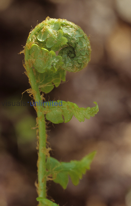 Fiddlehead of Southern Shield Fern ,Dryopteris ludoviciana, Eastern USA.