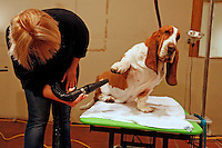 Dog owners, handlers and their champion dogs prep for the 138th Annual 2014 Westminster Kennel Club dog show at New York's Hotel Pennsylvania, Sunday, February 9, 2014.<br /> PICTURED:  Tiger, a five-year-old Basset Hound from Sacramento, CA, gets a canine spa treatment from dog handler Megan Hof in preparation to compete in this year's Westminster Kennel Club dog show.