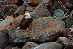 Resting on lichen-covered rocks along the shore of southcentral Alaska, a bald eagle sizes up its fishing possibilities with the waning tide.