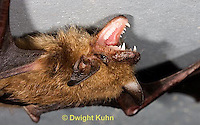 MA20-791z  Big Brown Bat threatening with mouth open showing teeth, Eptesicus fuscus
