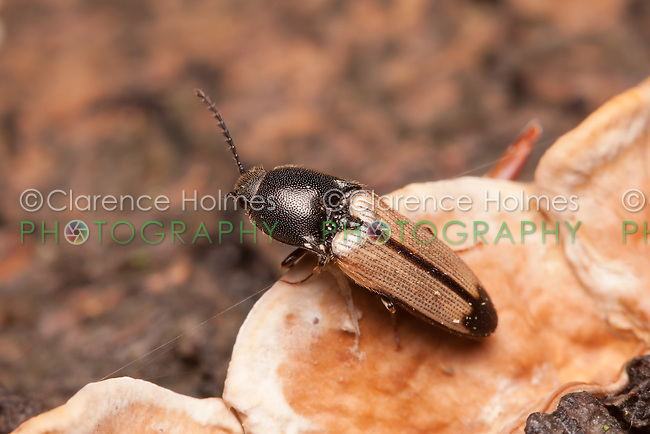 A Click Beetle (Ampedus linteus) perches on a dead tree trunk on the forest floor.