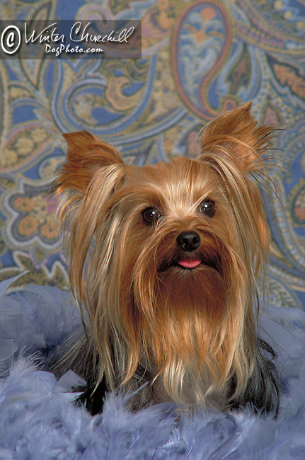 Yorkshire Terrier Shopping cart has 3 Tabs:<br />
