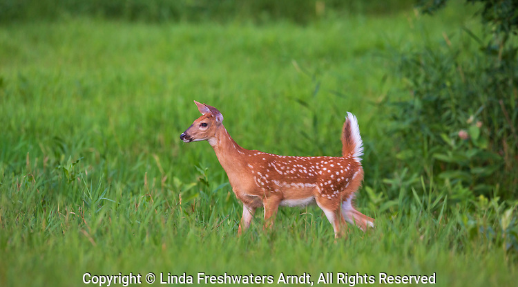 White-tailed fawn alarmed by something in the distance.