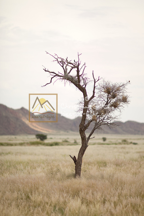 The Namib near the Naukluft mountains is green with grass after good rains. This young dead camel thorn tree (Acacia erioloba) serves as a rare nesting opportunity for birds.