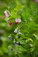 The colourful blossoms of Snap peas (Pisum sativum var. macrocarpon).