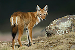 Ethiopian wolf, Canis simensis, Bale Mountains National Park, Sanetti Plateau, Ethiopia, Endemic, Abyssinian wolf, red jackal, red fox, Simien fox, Classified as Endangered on the IUCN Red List 2004, most threatened canid in the world, only wolf species to be found in Africa.Africa....