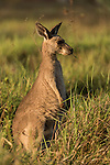 Undara Volcanic National Park, Queensland, Australia; a juvenile Eastern Grey Kangaroo (Macorpus giganteus) feeding on grasses in early morning light
