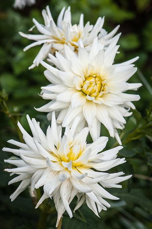 Dahlia 'My Love', early August. A white Cactus Group dahlia.