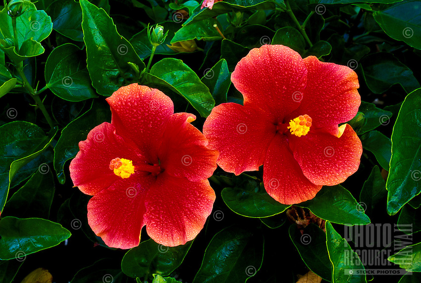 The beautiful hibiscus flower is an Hawaiian favorite