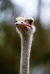 Ostrich, Africa