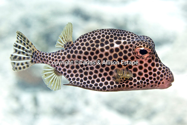 Lactophrys bicaudalis, Spotted trunkfish, Bonaire