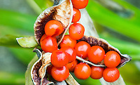 Berry fruit of Iris foetidissima in fall winter