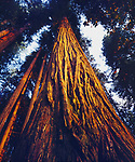 USA, California, Redwood National Park, Old Growth Redwood tree at Sunset more than 400 years old
