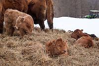 Pozzallo frazione di Romagnese (Pavia). Cooperativa Agricola Canedo: allevamento semibrado di bovini da carne. Vitelli all'aperto su del fieno --- Pozzallo Romagnese (Pavia). Canedo Agricultural Cooperative: semi-wild breeding of beef cattle. Calves outdoors on the hay