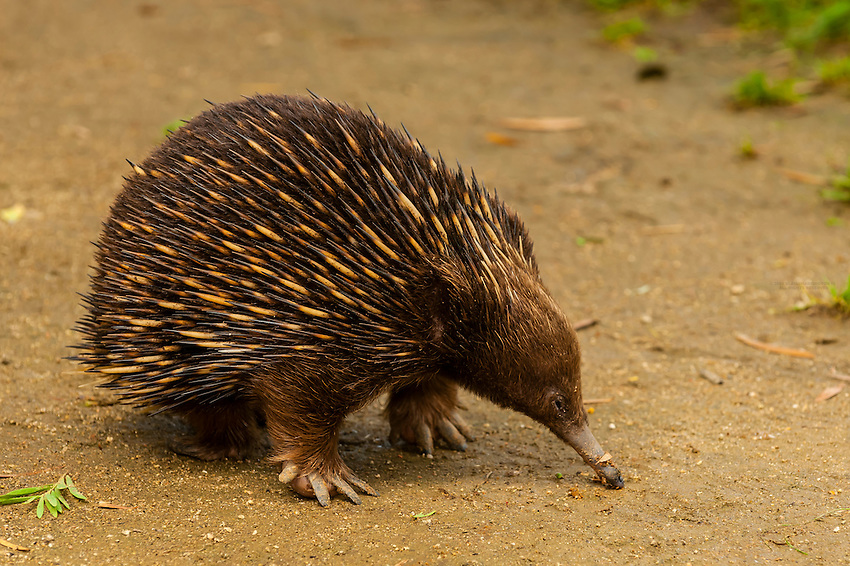 Echidna, Taronga Zoo, Sydney Harbor, Sydney, New South Wales, Australia