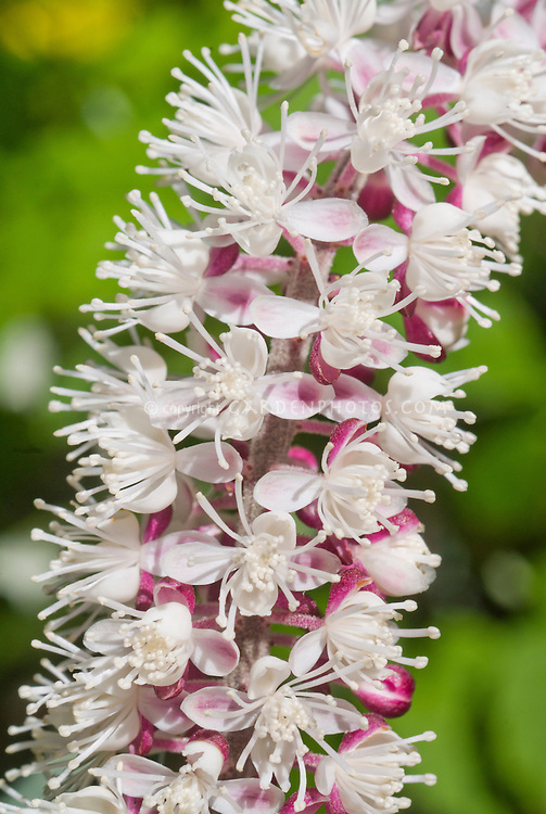 Actaea simplex 'Pink Spike' aka Cimicifuga simplex Pink Spike snakeroot, fairy candles in flower in late summer