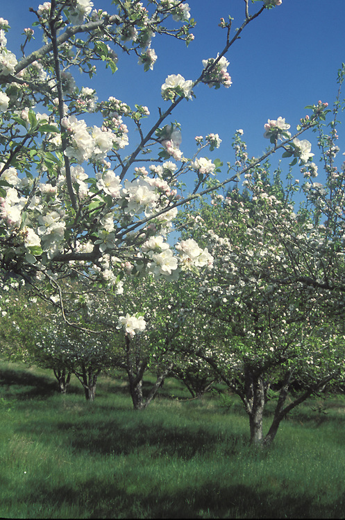 Apple Blossoms, Anderson Valley California