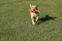 Yellow Labrador retriever (AKC) retrieving an orange dummy