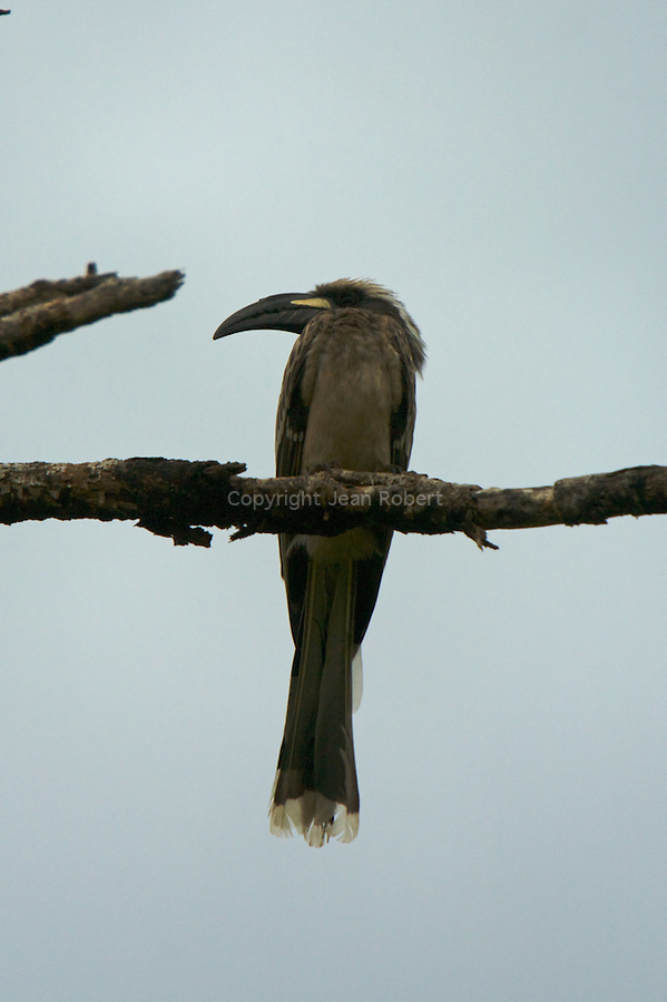African grey hornbill. Calao à bec noir