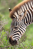Addo Elephant Park & Pumba Game Reserve, South Africa.