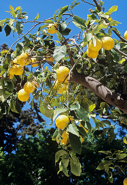 Lemons growing on a lemon tree, Sorrento, Campania, Italy