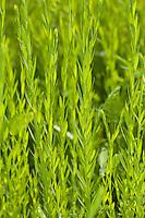 Gemeiner Lein, Flachs, Saat-Lein, Saatlein, Blatt, Blätter vor der Blüte, Linum usitatissimum, common flax, linseed