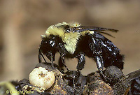 BU25-002z  Bumblebee - queen ejecting larva after long period of bad weather and low food supply - Bombus impatiens