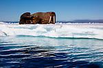 Norway, Svalbard, walrus on ice floe, Odobenus rosmarus